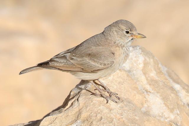 Desert Lark (ammomanes deserti)