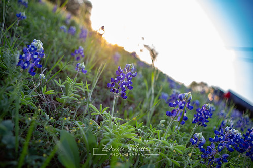 Bluebonnets | by niseag03
