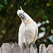 Sulphur-crested Cockatoo sitting on a wooden fence by Merrillie