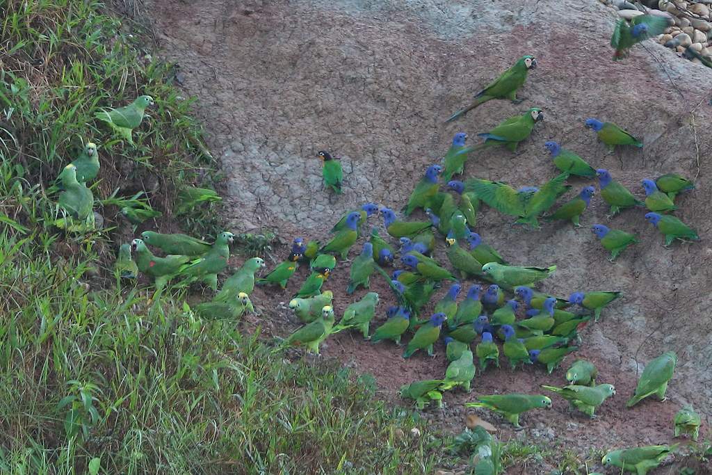 Yellow-crowned Amazons & Blue-headed Parrots