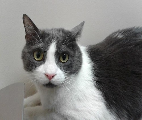 Mitch - 4 year old neutered male | by carescatshelter