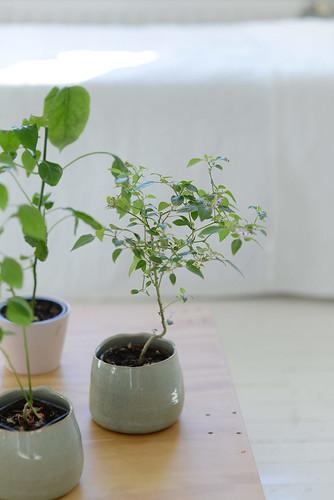 Chilli plants | by jutta / kootut murut