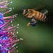 Bee Sees Flower