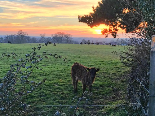 bedfordshire clapham calf cattle sunset sun field farmland livestock evening clouds hedge apple iphone se