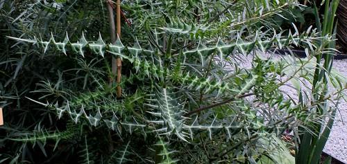 Acanthus arboreus - acanthe arborescente 32668480678_1568a33803