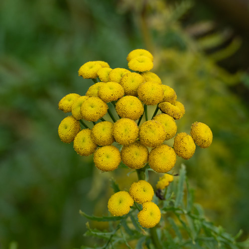 Tansy flowering, late December