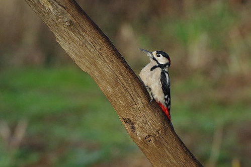 rspb sandy thelodge nature wild wildlife bird greatspotted woodpecker dendrocoposmajor
