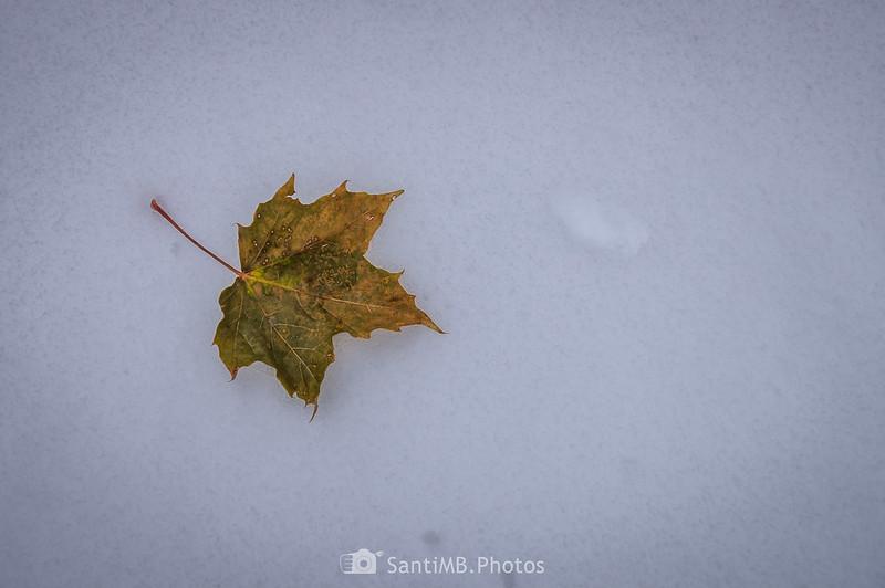 Hoja de arce sobre la nieve