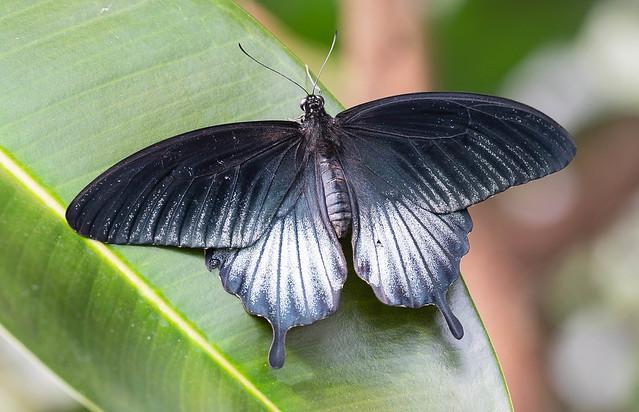 PapilioMemnon