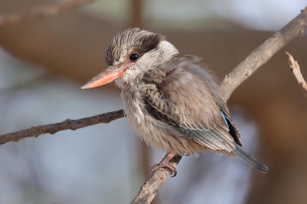 Striped Kingfisher  Halcyon chelicuti