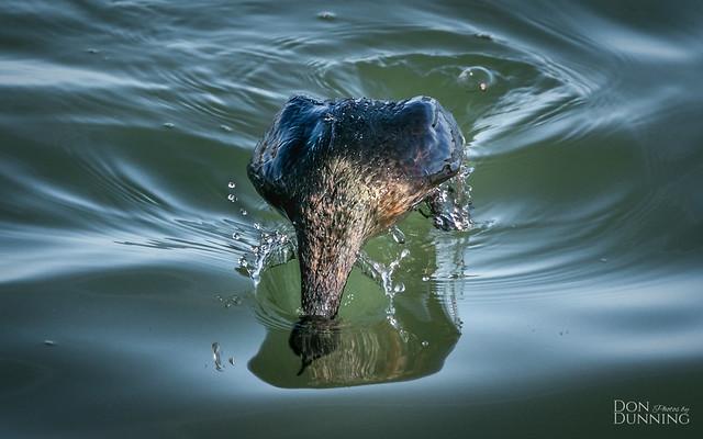 Pelagic Cormorant Begins Its Dive
