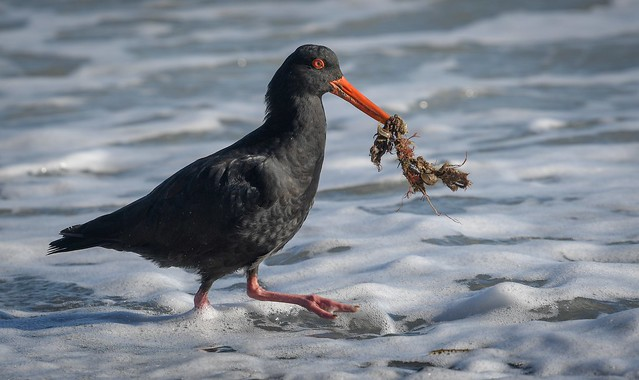 Variable Oystercatcher - High tide supplies breakfast