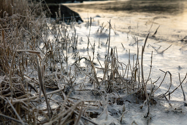 Frozen straws at sunset