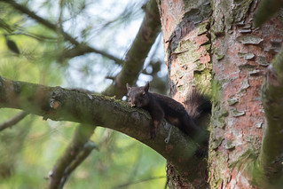 Tired squirrel | by Photo-Sorko