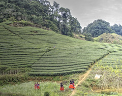 Tea Plantation Visitors