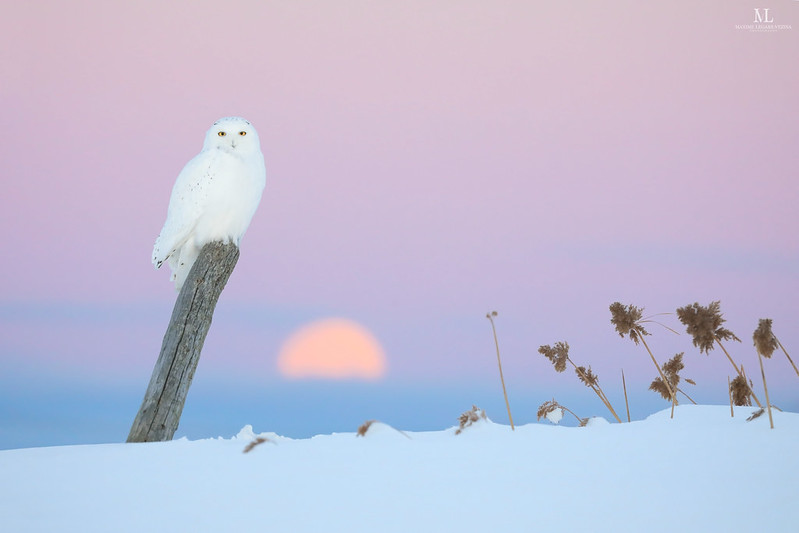 Snowy owl - Harfang des neiges - Bubo scandiacus