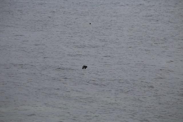 Seal at Handa Island
