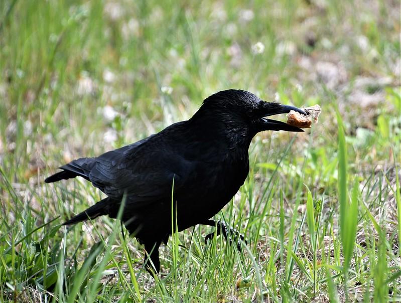 Crow 13.04 (5)