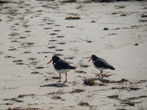 A pair of Pied Oystercatchers at Challenger Beach, Western Australia | by aushiker