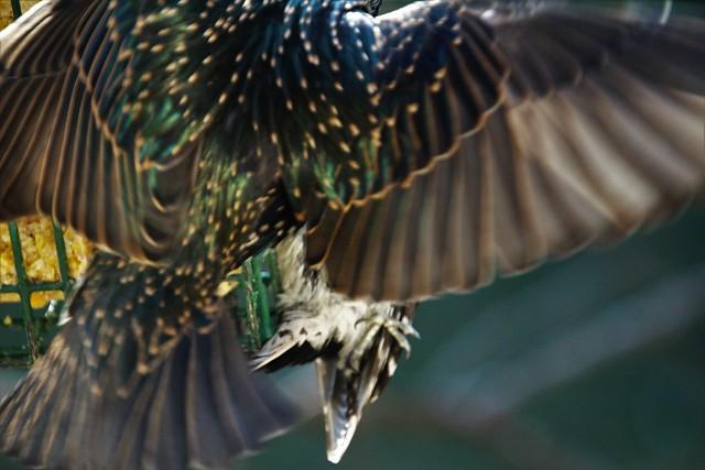 European Starling's Wingspan