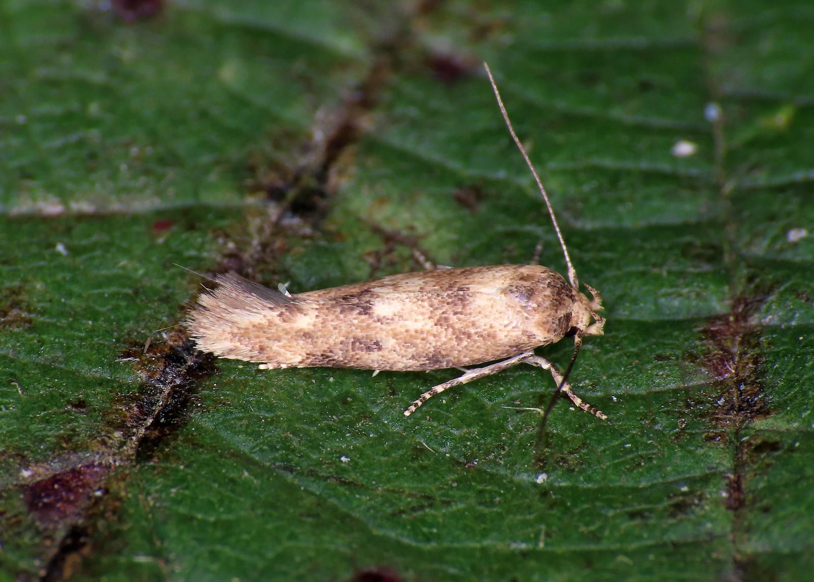 40.010 Common Cosmet - Mompha epilobiella
