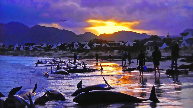 South Africa - Killer whales stranded on a beach!
