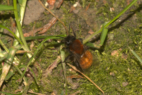 Tawny Mining-bee (Andrena fulva)