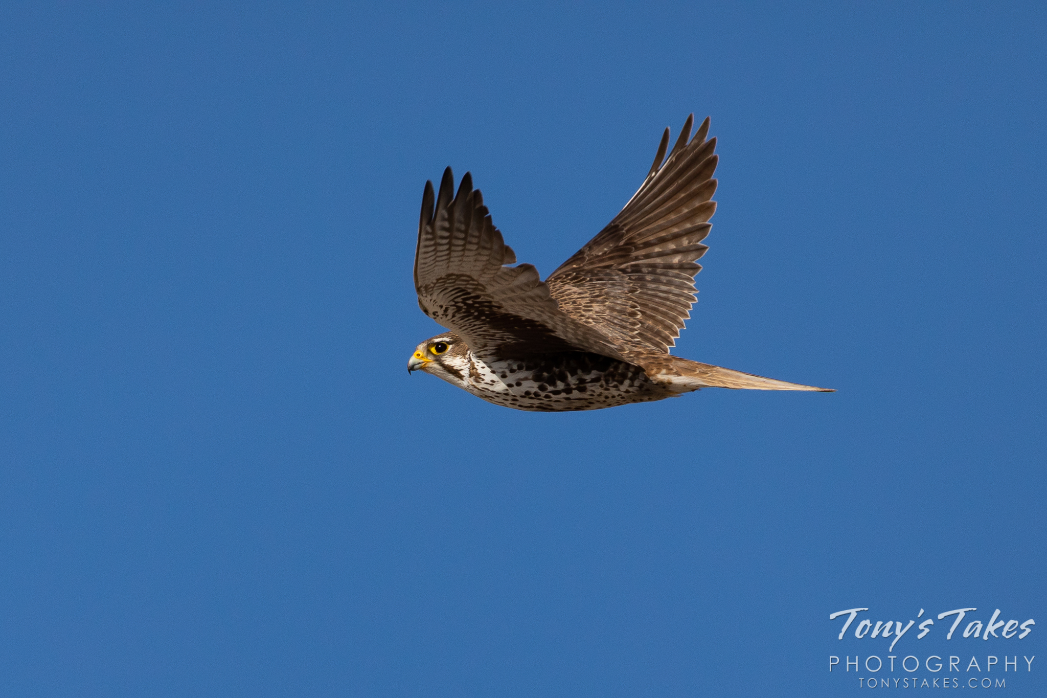A prairie falcon heads off to hunt in Adams County, Colorado. (© Tony's Takes)