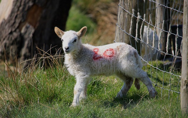 Elan Lamb