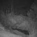 D1449606 Eurasian Badger