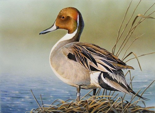 """""""Banded Pintail"""" by Rebekah Knight 