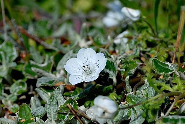 Nemophila menziesii ssp. atomaria (Baby Blue Eyes)