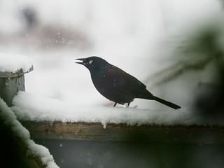 snowy grackle | by (robcee)