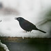 snowy grackle