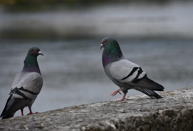 Pigeons 13.04 (2)