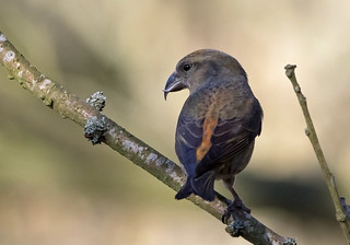 Crossbill | by NickWakeling