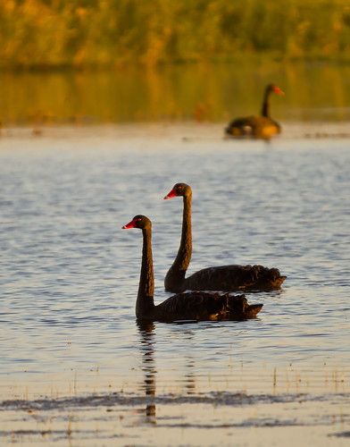 Black Swans, Tolderol Game Reserve, Fleurieu Peninsula - South Australia | by Trace Connolly Photography
