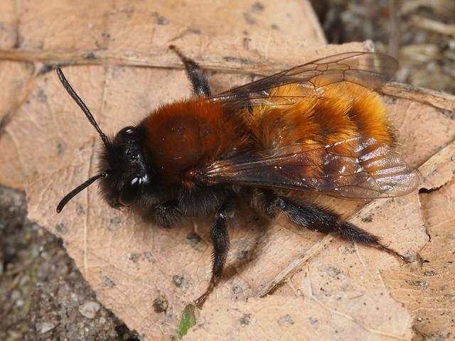 Andrena (s.str.) fulva f