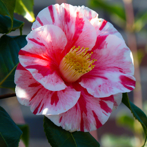 Camellia, pink and white (plus bee)