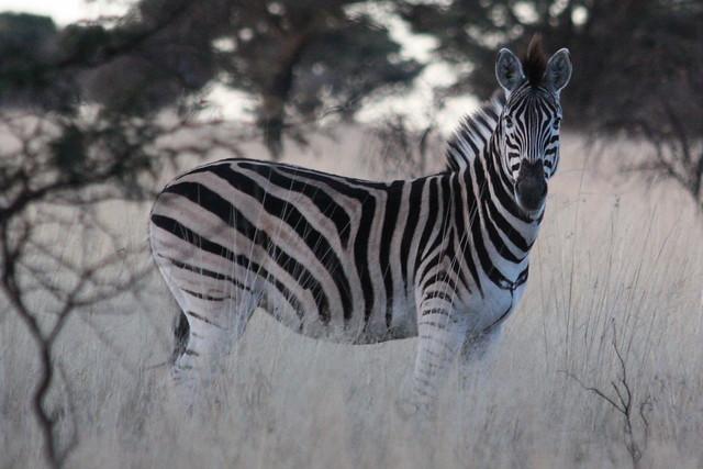 Free State: Sandveld Game Reserve - Steppenzebra