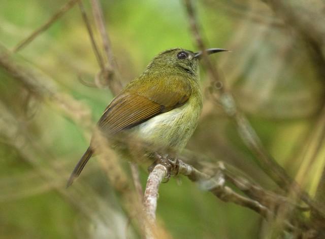 Black-throated Sunbird (f), Aethopyga saturata, Черногрудая острохвостая нектарница