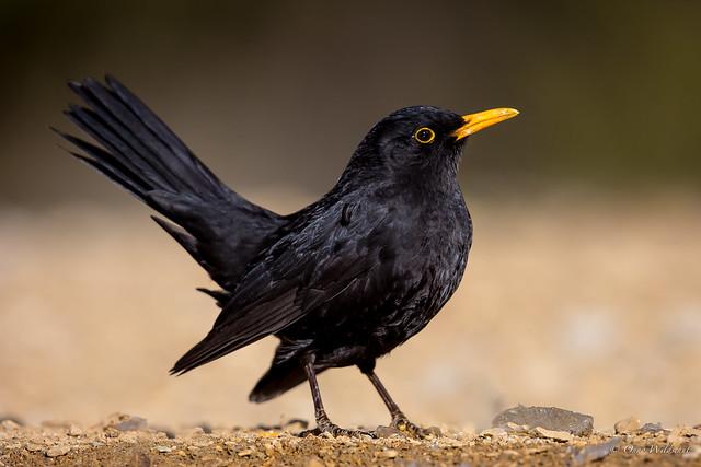 (Common) Blackbird
