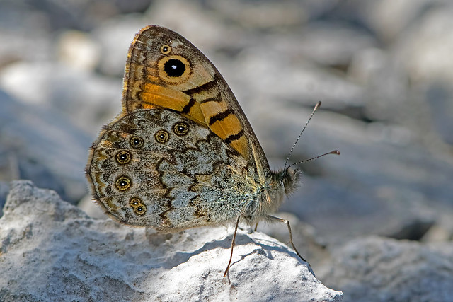 Lasiommata megera - the Wall