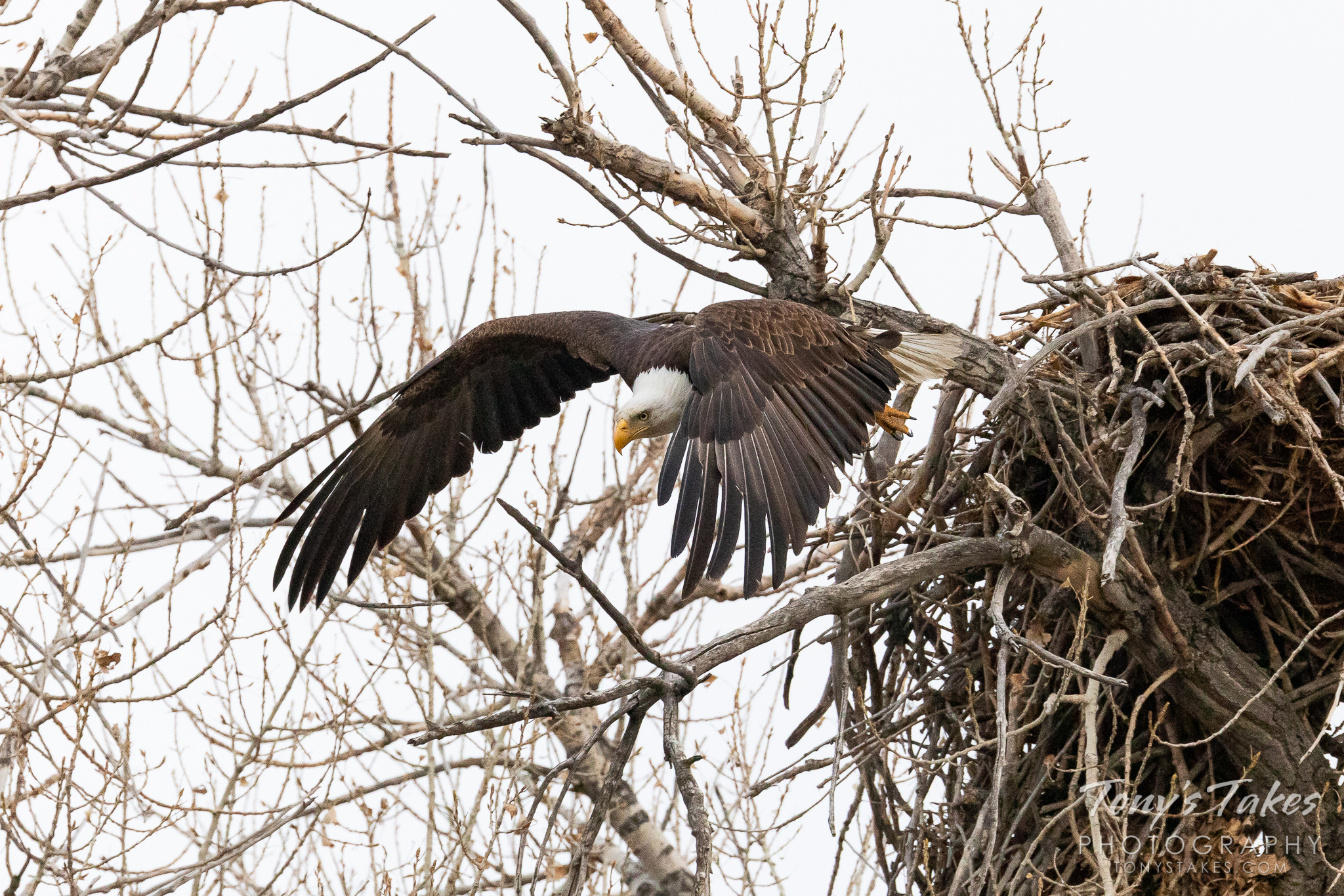 A bald eagle dives off its nest into the air along the South Platte River. (© Tony's Takes)