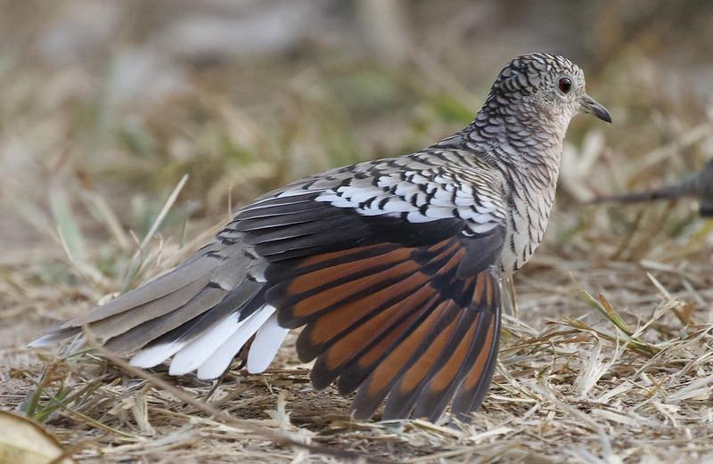 Scaled Dove, Columbina squammata Ascanio_Llanos Colombia 199A1591