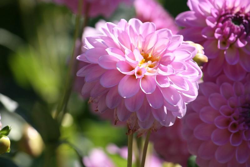 Обои Боке, георгины, Pink flowers, Dahlias, Розовые цветы картинки на рабочий стол, раздел цветы - скачать