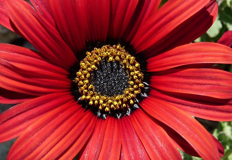 Обои Макро, лепестки, Остеоспермум, Osteospermum, Makro картинки на рабочий стол, раздел цветы - скачать