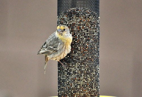 House Finch   by Bobpkins