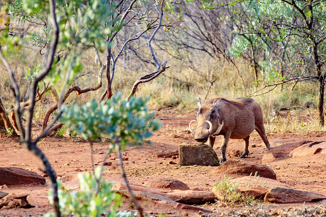 Warthog enjoying a snack (In Expore)