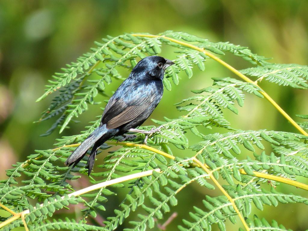 Espiguero Saltarín, Semillero Volantinero, Blue-black Grassquit, Volatinia jacarina